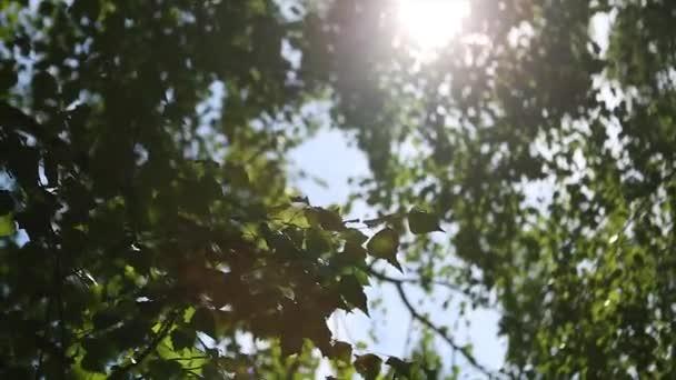 Őszi táj, a nyír-erdő mögött a nyírfa napfény.