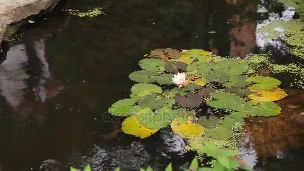 Krásné květiny a listí v bažině. Bažina Lotus. Květiny a listy v jezeře. Zelené bažiny, kde plave rostlina. ITE Lotosový květ se žlutým pyly a zelené listy v době květu rybník