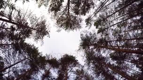 Looking Up to Blue Sky Framed by Forest Tree Tops. the edge of the ...