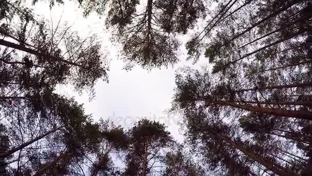 Buscando a cielo azul enmarcado por copas de los árboles forestales ...