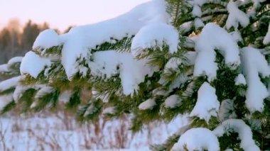 Weihnachtsbaum Fällen.Schmelzender Schnee Auf Dem Weihnachtsbaum Tauwetter Winter Tropfen