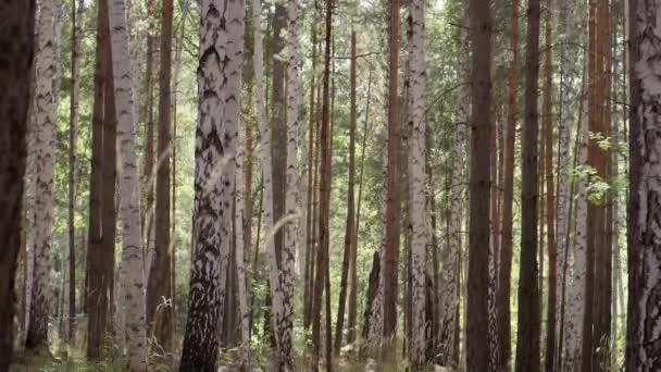 Břízy v světlé sluníčko kmeny bříz v birchwood. Birchwood zazářil se sluncem. Klid a ticho v březové háje. Krásný březová lesní potěšení s jeho krásu a vznešenost