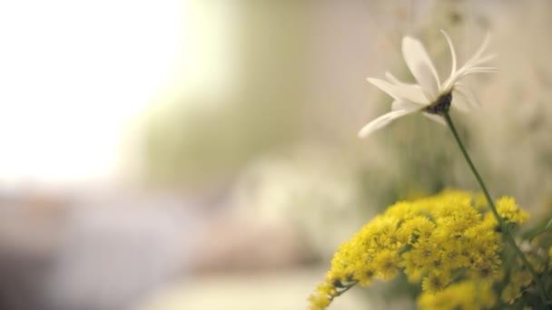 Sedmikráska na nočním stolku. Sedmikráska květ na zelené louce. Jarní sedmikráska v louce. Sedmikráska květ, letní čas, jarní květiny