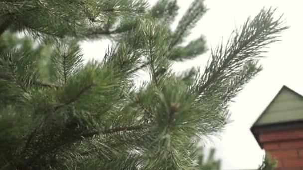 Prémes-fa ága. Örökzöld fenyő fenyő fa ága. Kék és zöld fenyő tű egy ágak. Zöld tüskés ágai a prémes-fa vagy fenyő