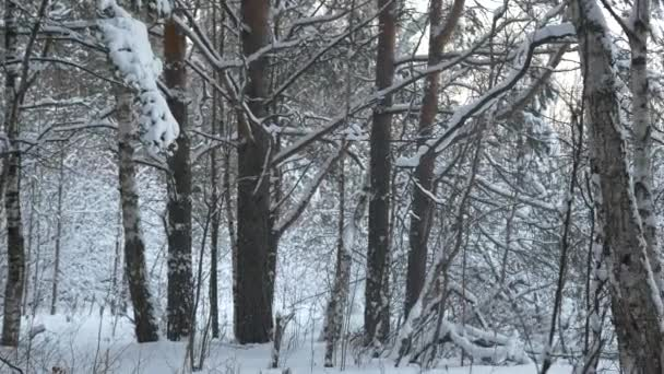Frosty winter landscape in snowy forest. Winter road , forest with pine trees. Panorama of winter forest with trees