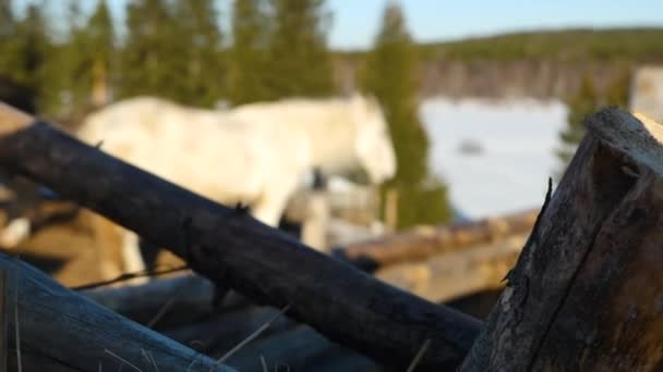 krásné, klidné, bílém koni čeká v paddocku