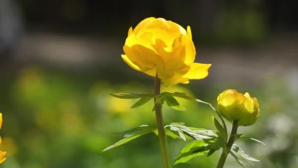Úžasný pohled žlutý květ v krajině zahrady a zelené trávy pod přirozené sluneční světlo v slunné léto. Detailní záběr
