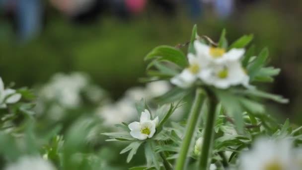 Květ sasanky, detail. Divoce rostoucí květiny a rostliny. Divoké květiny. Barevné květiny na hřišti. Květy mezi trávu a divoce rostoucí květiny makro