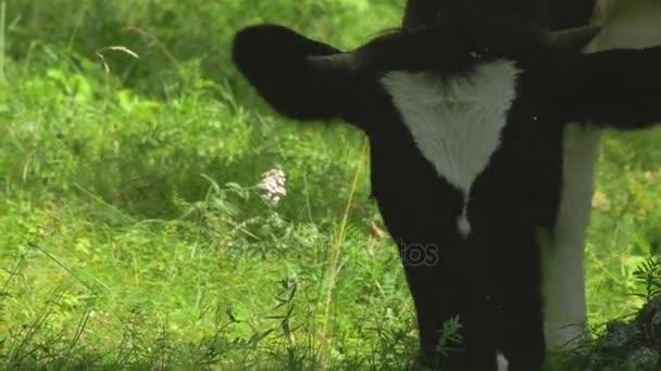 Portrét kráva na pozadí pole. Krásný dotaz na statku krávy. Kráva stravování jasně zelené trávy zblízka. Zavřete hubu Banteng konzumace trávy