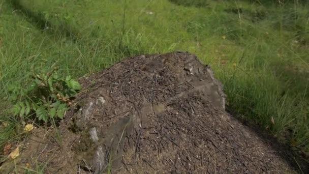 Zblízka pohled mravenců na kameni, Carpenter ant, Camponotus herculeanus. Týmová práce: Černá a červená mravenci na dřevěný povrch s kameny. Mravenci na kámen