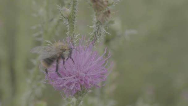 Krásné divoké čmelák shromáždění med z květu bodláku marsh. Makro. Včela na růžový květ bodláku pole. Zavřít pole divokých rostlin s trny