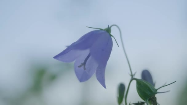 Close-up of beautiful bluebell flowers - campanula rotundifolia. Close-Up of violet colored Campanula Bellflowers. Campanula, close up