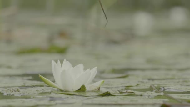 Water lily in swamp. Water lily in swamp. Lotus in nature on natural background. White Lotus in the swamp close up.