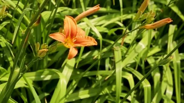 Gigli Arancioni Su Uno Sfondo Di Erba Verde. Sfondo Naturale Con Fiore  Giglio. Giglio