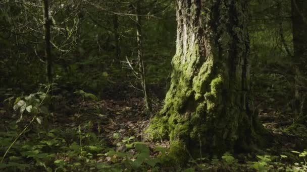 Old trees with lichen and moss in forest. Forest trees nature ...