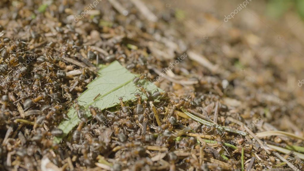 Ants moving in anthill Marco many insects background. Closeup life of ants on the top of anthill