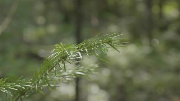zöld tüskés ágai a prémes-fa vagy a fenyő. Közeli kép: karácsonyi fenyő fenyő ágak háttere. Karácsonyfa ágak háttere. Fenyő fa ága közelről