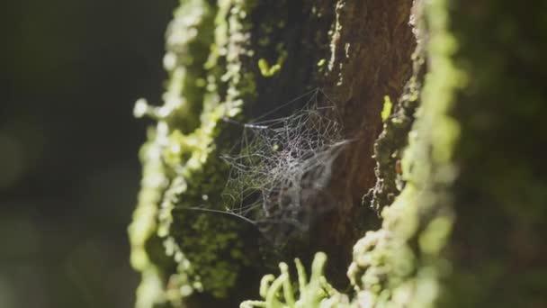 A fa ágai és a nap gondolkodási pókháló. Pókok a web a fa törzse. A fa kérgét moss és a nap tükörképe web