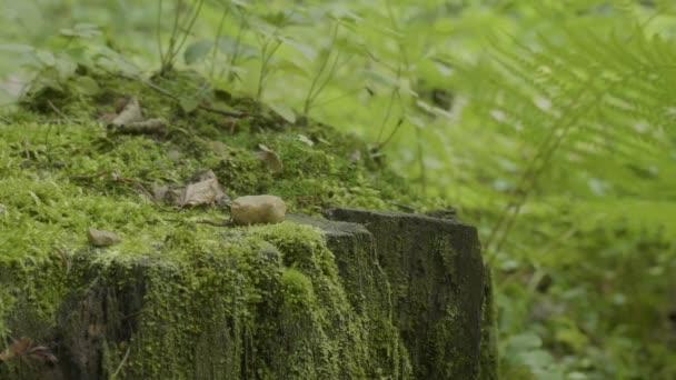 Az erdő csonkot. Régi fatönkön borított moha. Stump zöld moss Luc fenyő tűlevelű fa parkerdő fa gyökér kérge napfény háttér