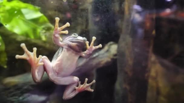 Tropischen grünen Frosch In einem Aquarium. Nahaufnahme von einem afrikanischen Frosch Unterwasser. Frosch fest auf das Glas im aquarium
