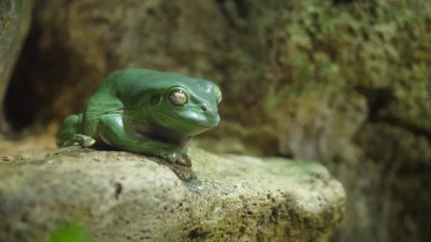 Rosnice siná spánku na kameni. Žába, spí v akváriu v zoo, žába, pokorně spí