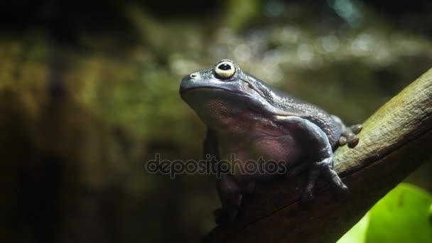 Die erstaunliche Laubfrosch-Sammlung. Erstaunlich grünen Frosch auf Ast im Terrarium. Super Frosch-Camouflage in der Natur. Bellender Laubfrosch