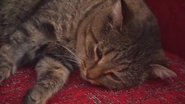 die Katze liegt auf der roten Couch. Clip. schöne flauschige zottelige Katze liegt auf der Couch