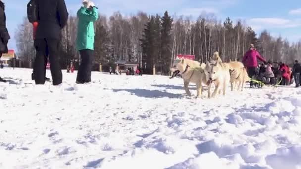 Řidič a sibiřský husky. Psy Husky v zimní krajině. čelní pohled na čtyři sibiřské huskys na závod v zimě