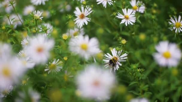 Green grass and chamomiles in the nature. Clip. Chamomile flowers on a green meadow