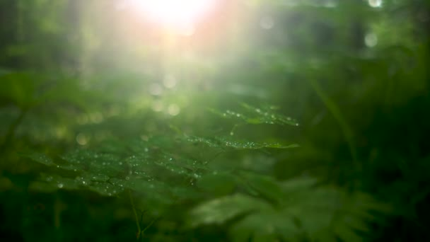 Zblízka zelené rostliny s mnoha malými kapkami ranní rosy na jemných listech proti jasnému slunečnímu světlu, které prosvítalo mezi stromy. Záběry ze skladu. Přírodní květinové pozadí na slunci.