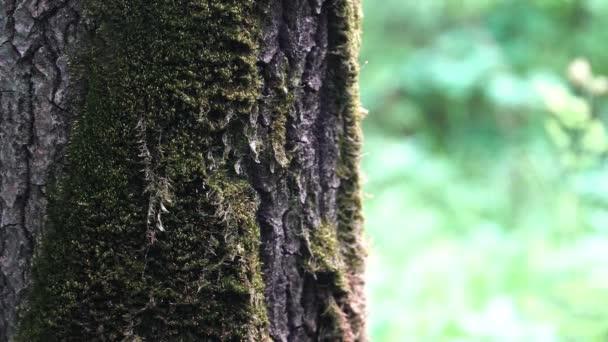Zavřete starý kmen stromu se zeleným mechem na pozadí rozmazaného podzimního lesa. Záběry ze skladu. Přírodní dřevěná textura v letním lese.