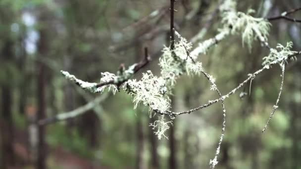 Zblízka borovice tenké větve na rozmazaném pozadí letního lesa. Záběry ze skladu. Suchá větev stromu se lehce houpe ve větru.