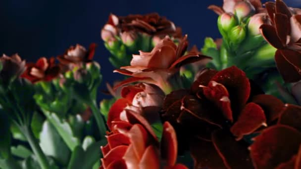 Close-up of petals of red solid flowers. Stock footage. Beautiful rare maroon flowers with stiff petals in bouquet with unopened green buds on blue background
