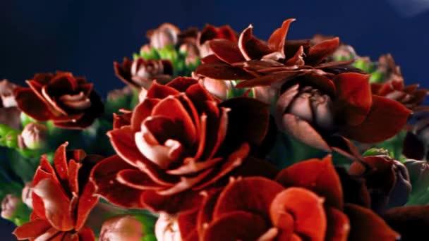 Detailní záběr okvětních lístků červených pevných květů. Záběry ze skladu. Krásné vzácné kaštanové květy s tuhými okvětními lístky v kytici s neotevřenými zelenými pupeny na modrém pozadí