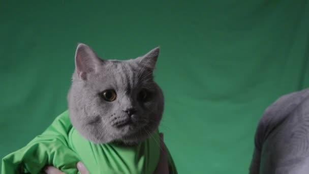 Az ember zöld alapon tartja a szürke macskát. Készletfelvétel. Közelkép egy férfiról, aki zöld takaróban tartja a macskát, zöld, elszigetelt háttérrel. Stúdió zöld háttérrel és macskával