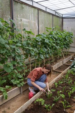 Young woman working in the greenhouse vegetable garden. Small family business of healthy organic food production. Local farmer markets and sustainability concept.