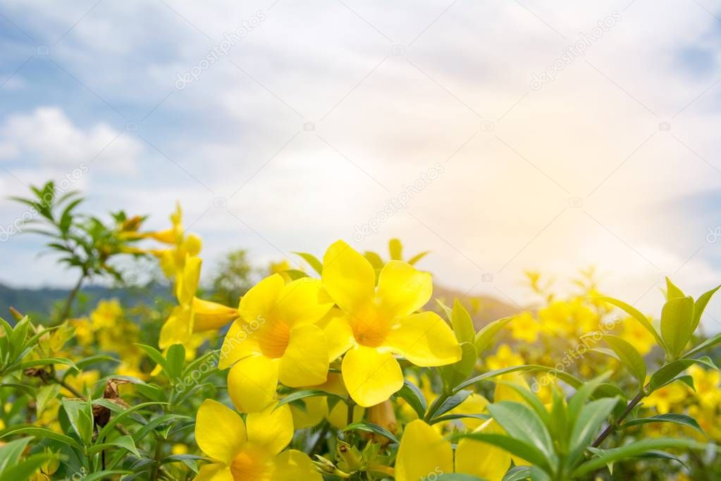Yellow trumpetbush field with morning sky