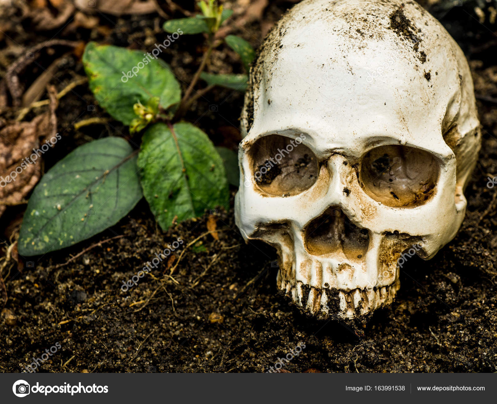 In Front Of Human Skull Buried In The Soile Skull Has Dirt