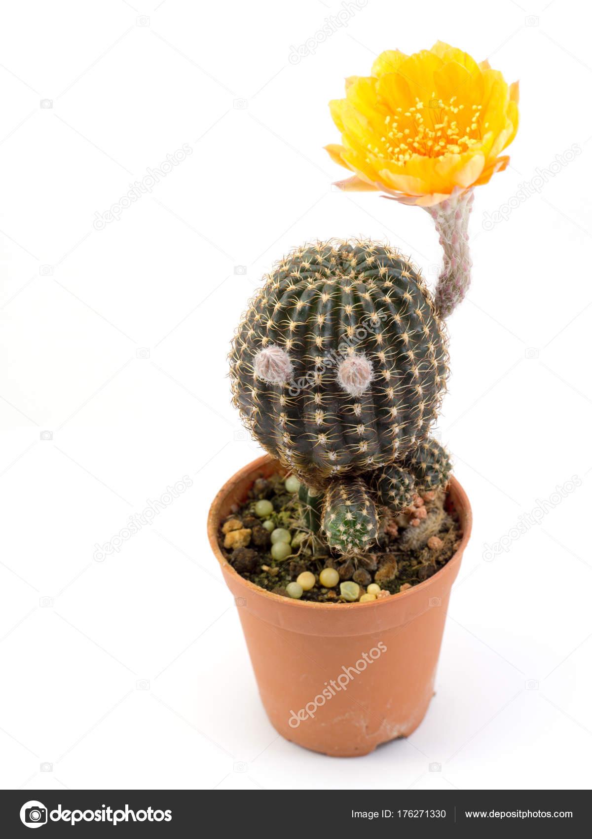 Cactus Yellow Flower Pot Isolated White Background Stock Photo
