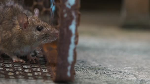 Ratte Im Kafig Eine Ratte Zu Fangen Die Maus Verfugt Uber Ansteckung Der Krankheit Auf Den Menschen Wie Leptospirose Pest Hauser Und Wohnungen Sollte Keine Mause Haben Konzept Der Hygiene Und