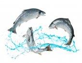 Losos ryby z vody