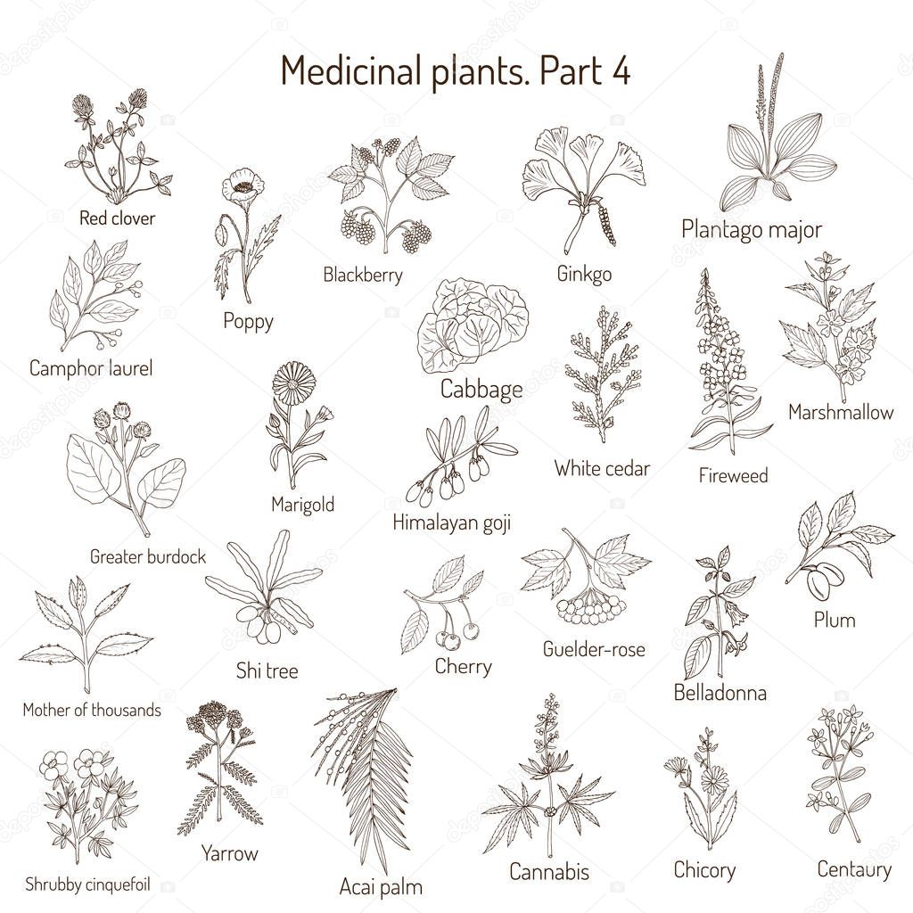 Vintage collection of hand drawn medical herbs and plants. Botanical set