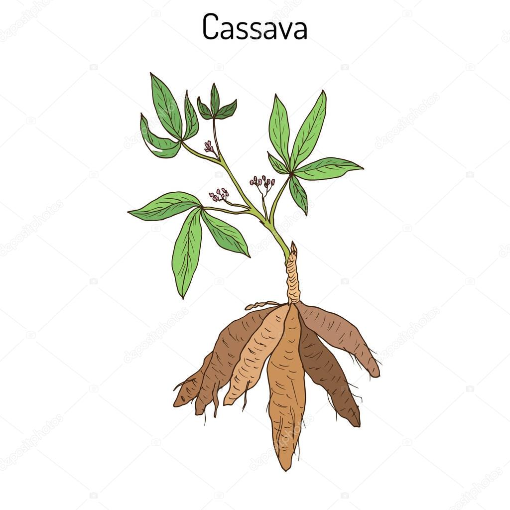 Cassava Manihot esculenta , or Brazilian arrowroot, manioc, tapioca, plant with leaves and tubers