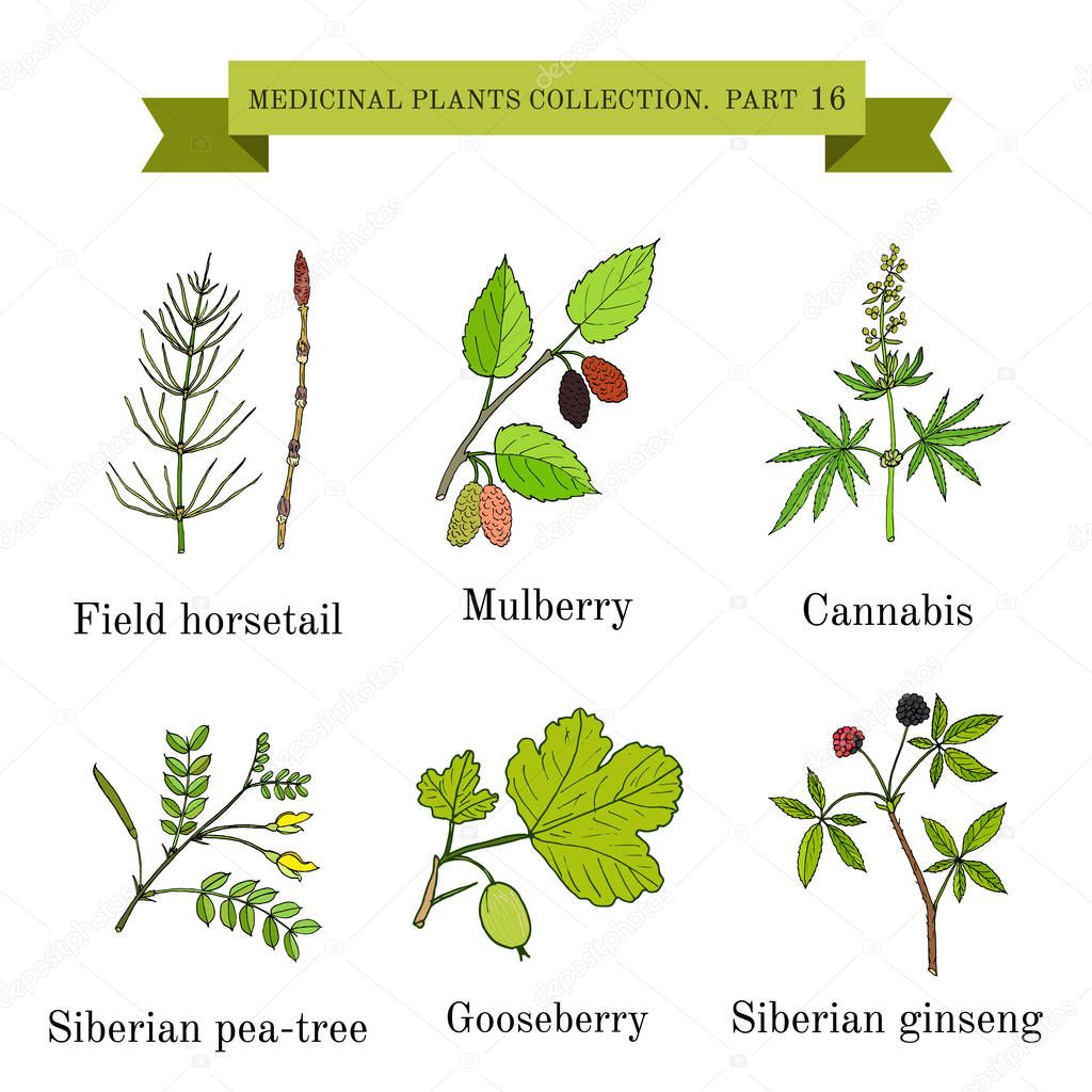 Vintage collection of hand drawn medical herbs and plantssiberian ginseng