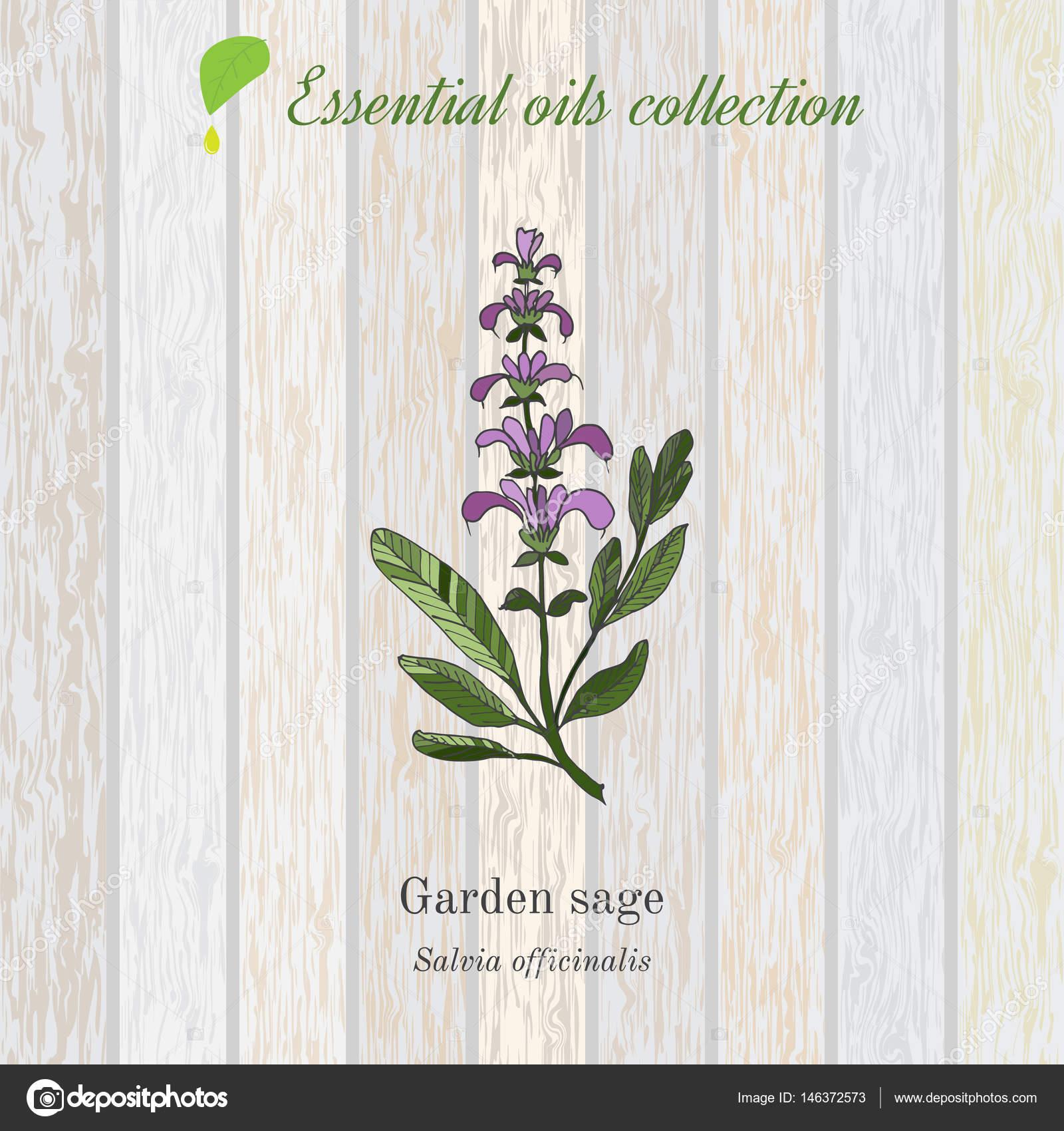 tiquette de sauge huile essentielle plante aromatique. Black Bedroom Furniture Sets. Home Design Ideas