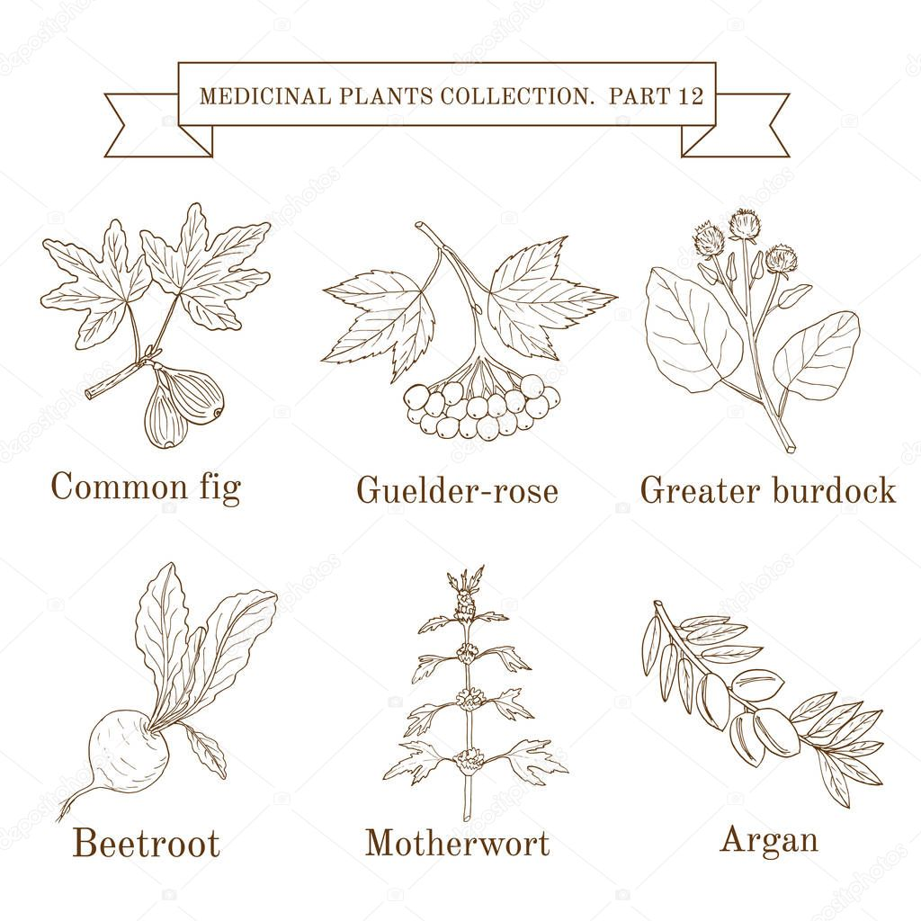 Vintage collection of hand drawn medical herbs and plants, common fig, guelder-rose, greater burdock, beetroot, motherwort, argan