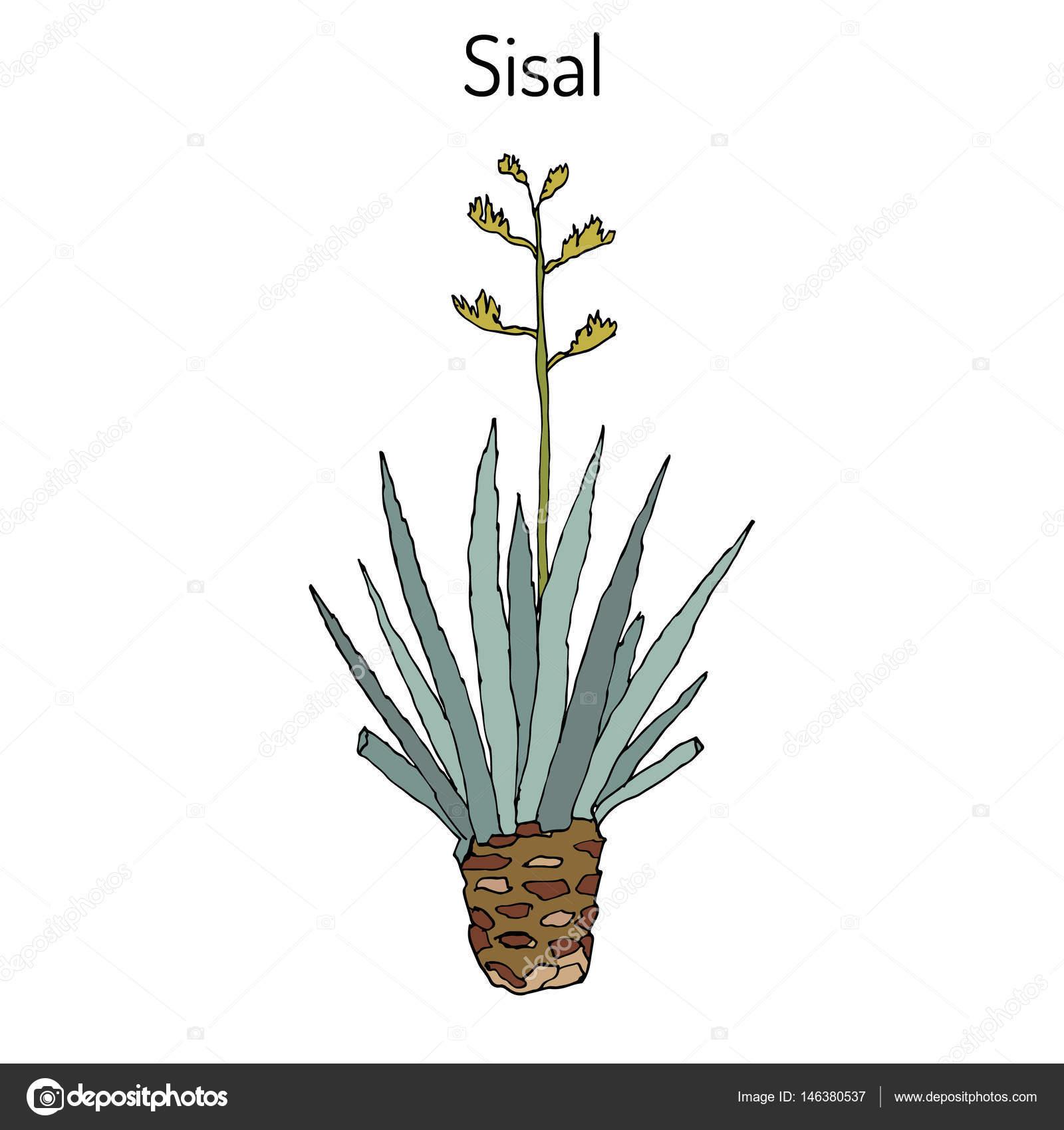 sisal agave sisalana planta de fibra u vetor de stock