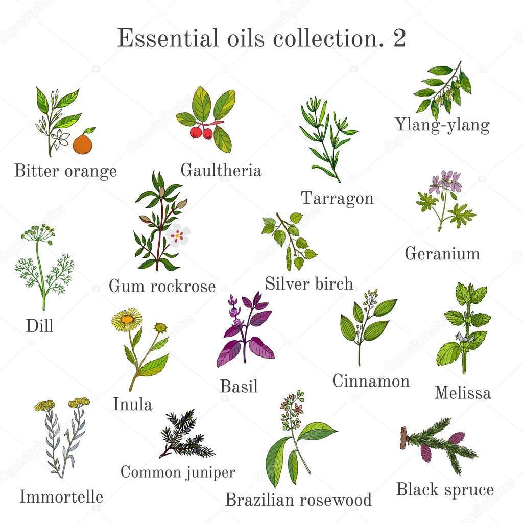 Set of essential oil plants. Hand drawn ector illustration