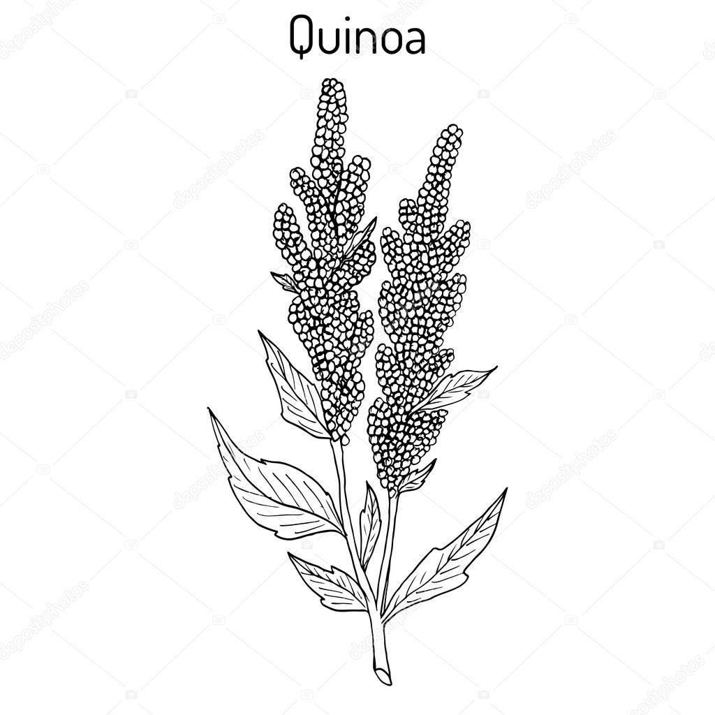 Quinoa Chenopodium quinoa superfood, healthy plant