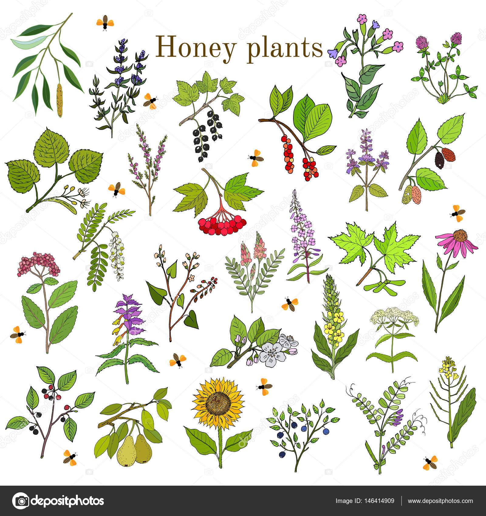 Planten Voor Bijen.Planten Bronnen Van De Nectar Voor Bijen Stockvector C Foxyliam